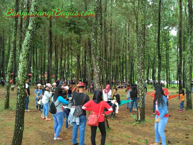 Pinus Songgon