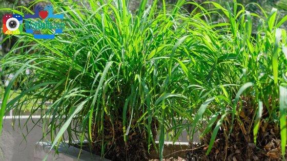 Serai Wangi tanaman pengusir nyamuk alami