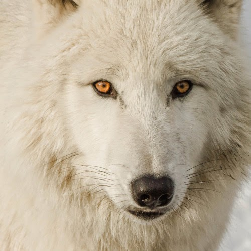 Amazing Wolf: White Wolf : 15 Photos Of The Most Amazing Animal In