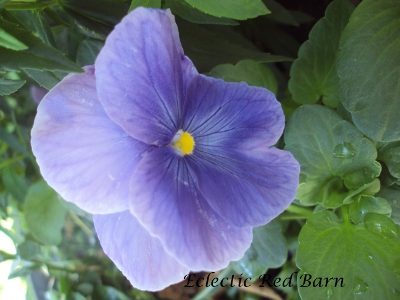 Purple pansy bloom
