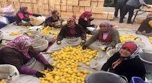 Erdemli'de Limon Hasadı Sürüyor