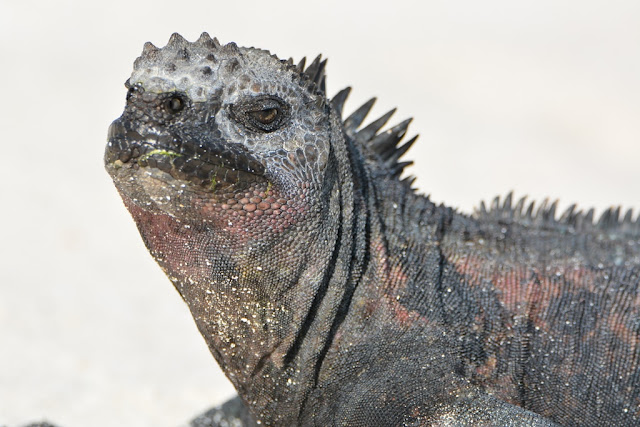Gardner Bay Galapagos iguana close up