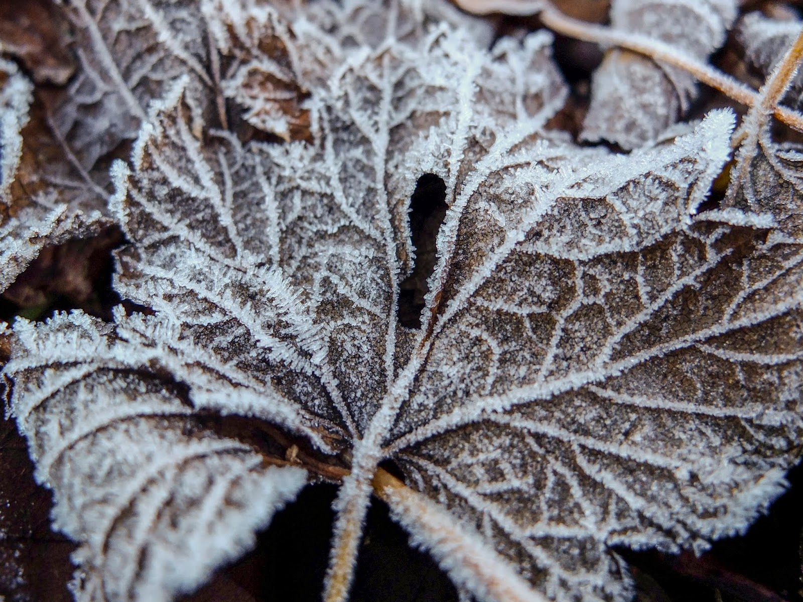 Frost covered brown Maple tree leaf.