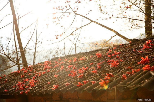 Stunning red silk cotton trees in Ha Giang prove hit among visitors 2
