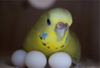 Budgies Breeding Problems - Love Birds Care