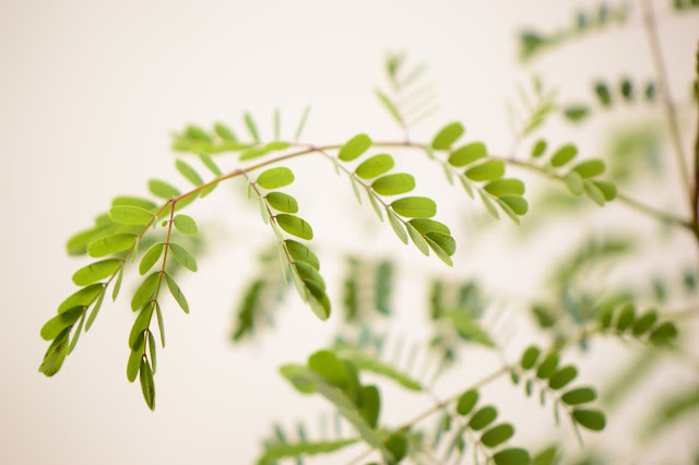 Foliage of Caesalpinia pulcherrima, amy myers photography