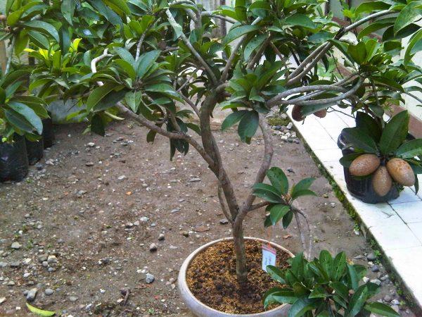 Dimana Pohon Sawo Bisa tumbuh baik
