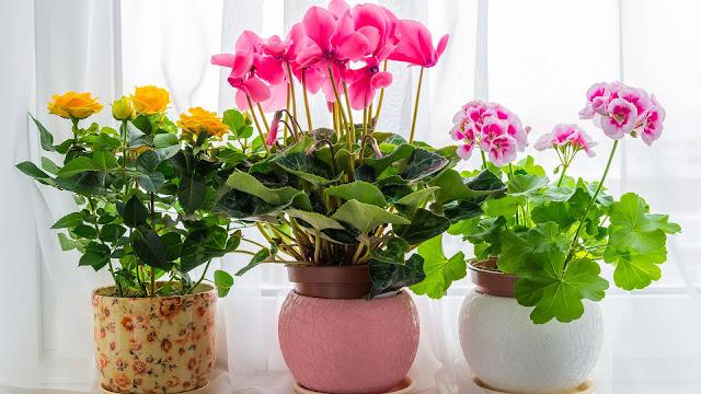 Ev Saksı çiçekleri Hangileridir Ev Saksı Bitkileri çiçek Bakımı
