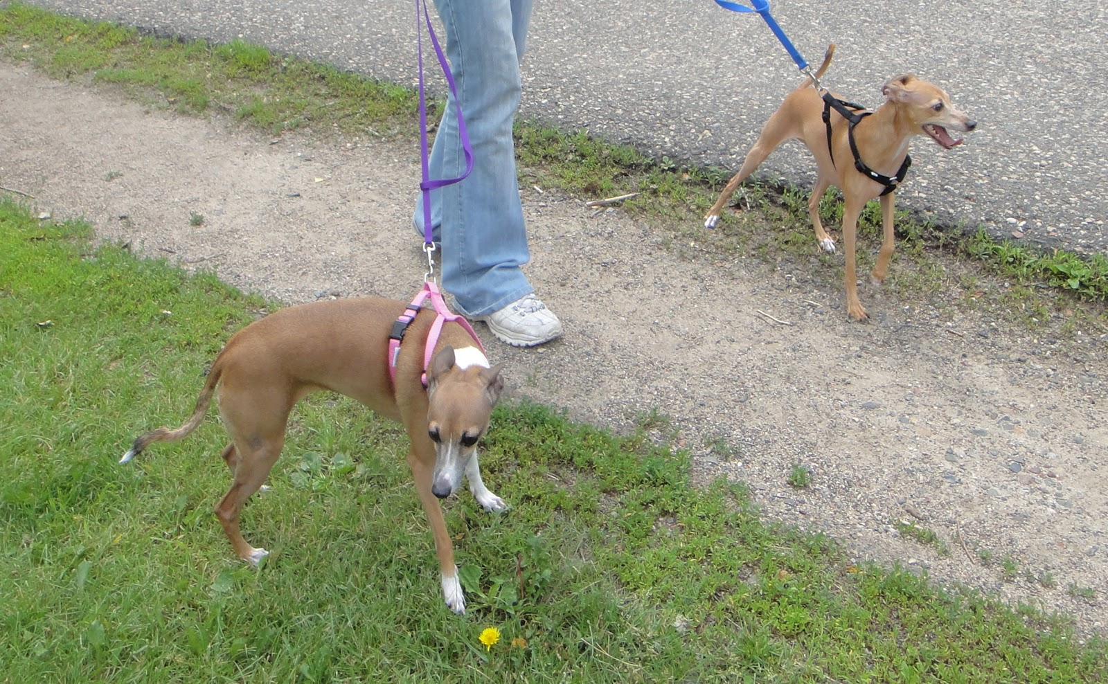 Such Good Dogs: Breed of the Month--Italian Greyhound
