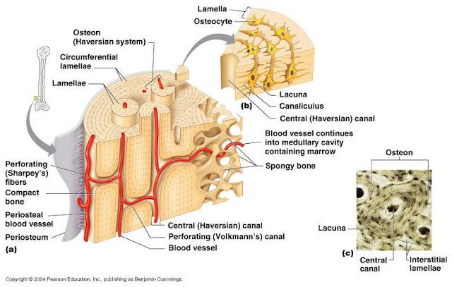 struktur tulang osteon