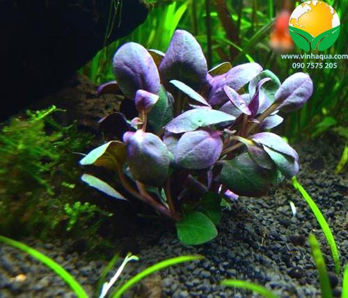 Phụ kiện thủy sinh - cây hồng ba tiêu