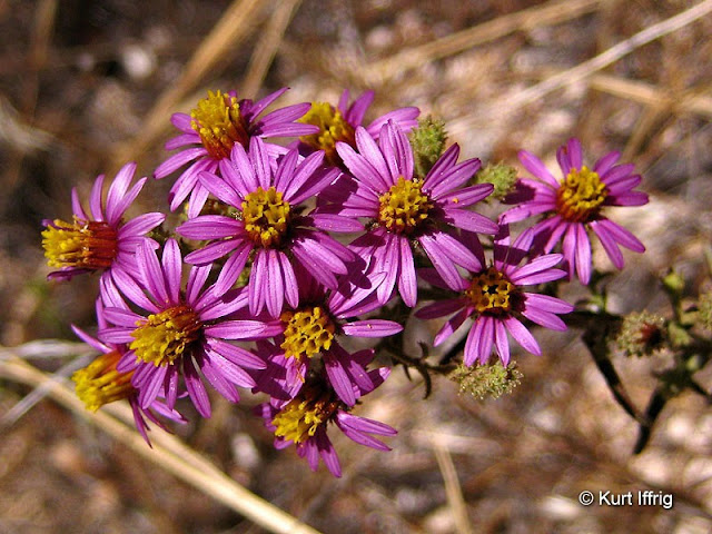 These Wildflowers were found in Devil's Canyon, after I overshot the Bell Hartman Mine.