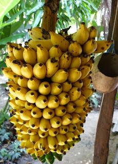 Resultado de imagem para cacho de banana