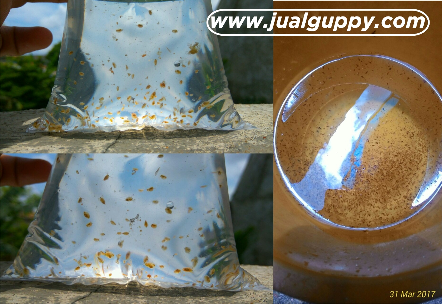Jual daphnia magna paketan murah siap ternak gratis for Baby koi fish for sale cheap