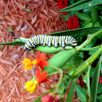 #10 Monarch Butterfly Caterpillar on Tropical Milkweed Seed Pod June 8, 2018