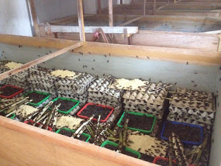 Jual Telur Jangkrik Untuk Bibit Usaha Ternak Jangkrik