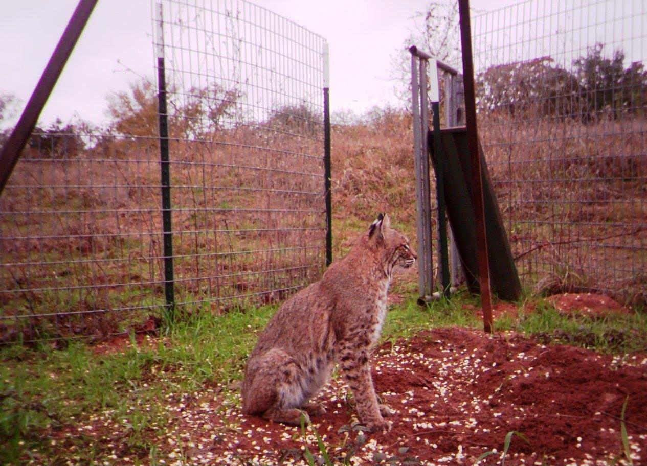 Bobcat Predation on Northern Bobwhites | Wild Wonderings