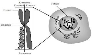 Pengertian Gen, Kromosom, DNA, Genotip dan Fenotif dalam Perkembangbiakan Makhluk Hidup