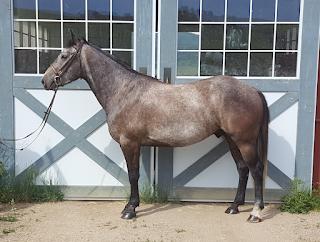 grey quarter horse gelding - sold