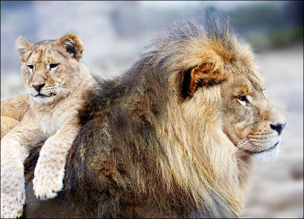 Cute Tiger Cubs Hd Wallpapers Great Wallpapers Of Lion Animals