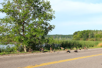Canada geese loafing along roadway