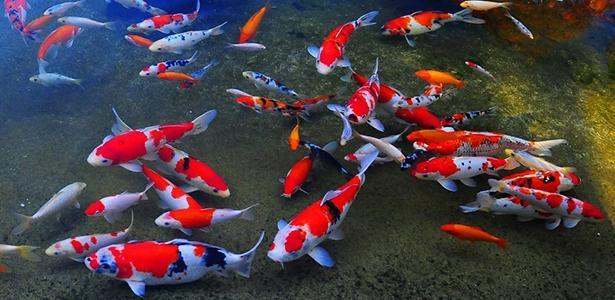Mê tít với các Ioại cá cảnh vừa đẹp vừa dễ nuôi