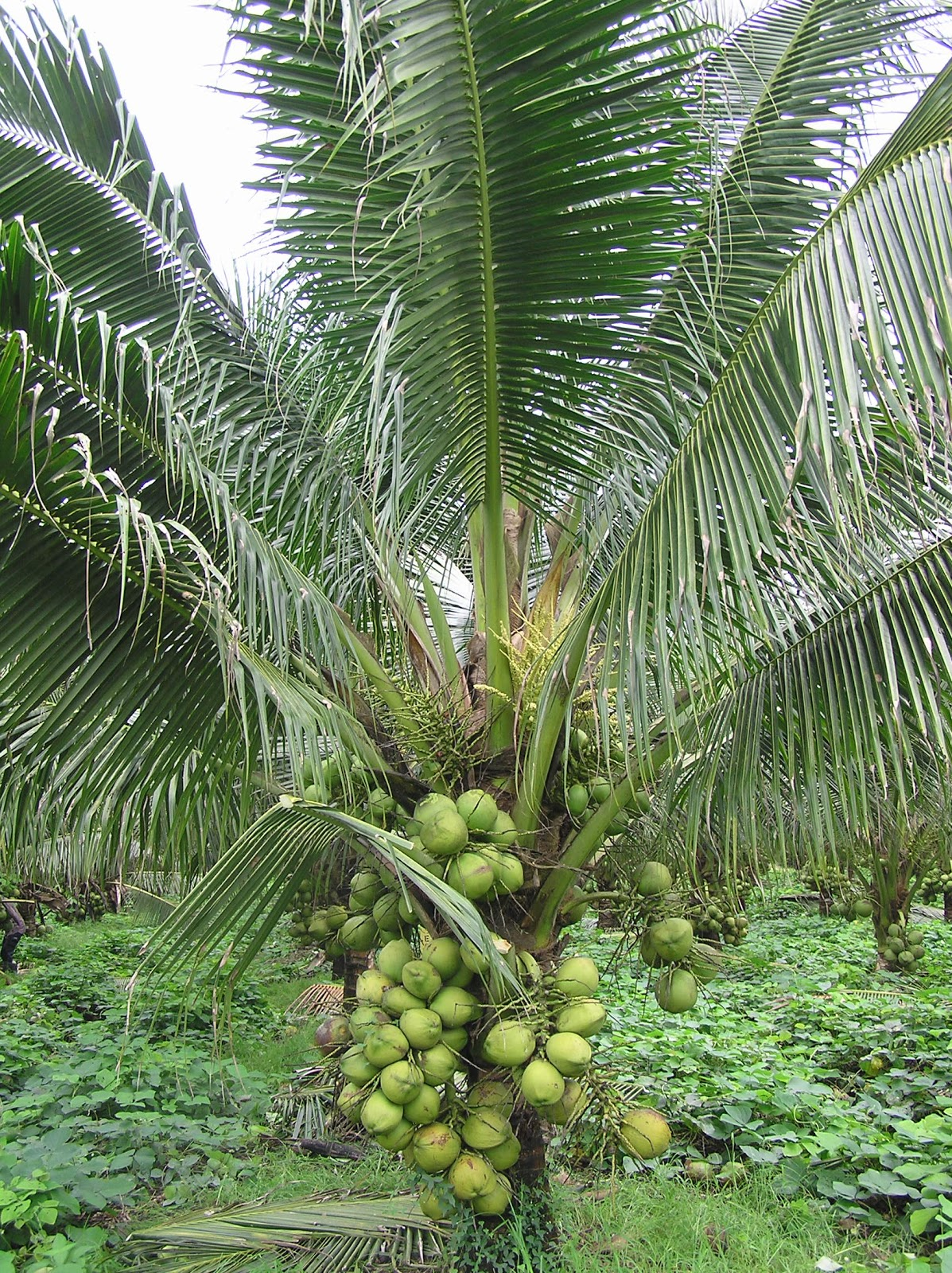 Malayan Red Dwarf coconut palm. Photo by Trainee Agriculturist in Malaysia.