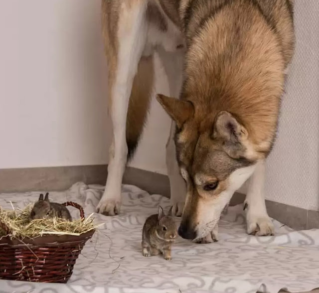 """White Wolf : """"Baby-sitter"""" Wolf Dog Looks After Rescued ..."""