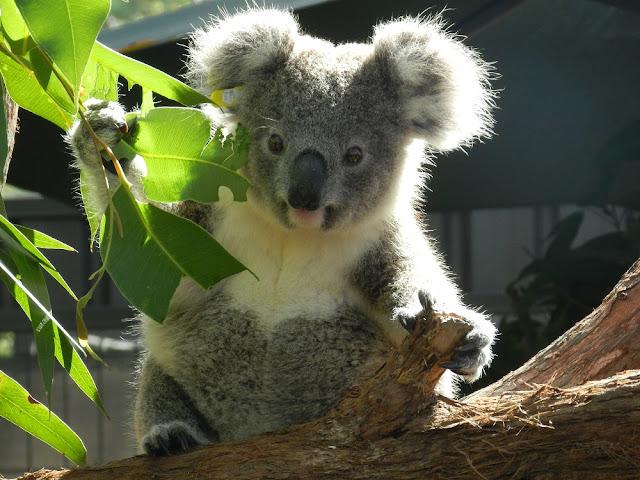 koala tenero australia