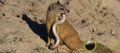 Mongooses dan Ular