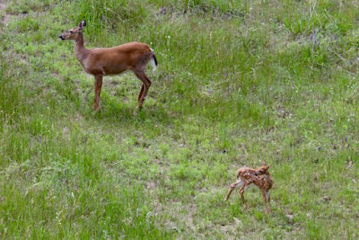 whitetail doe first appearance with her fawn