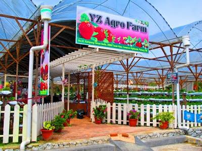 YZ Agro Farm & Cafe Ladang strawberry cameron higland brinchang