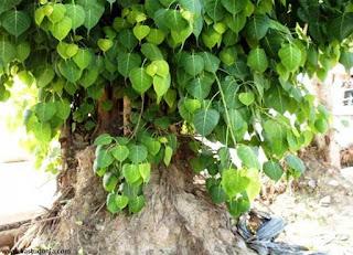 peepal,tree,images