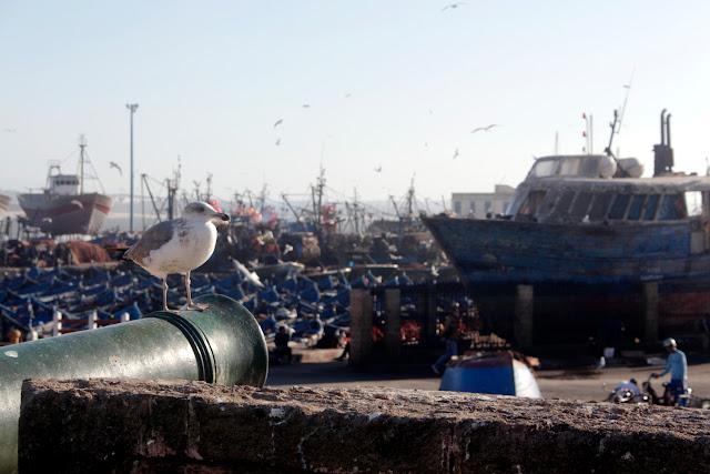 Gaviota frente al puerto pesquero de Essaouira