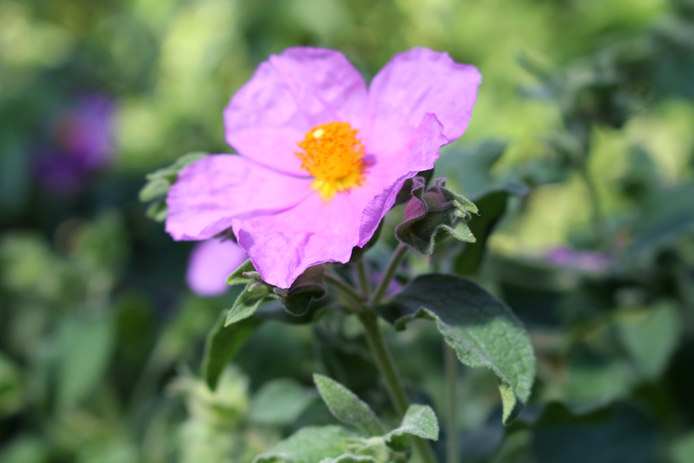 Cistus Albidus, Berlin Botanical Garden - travel & lifestyle blog