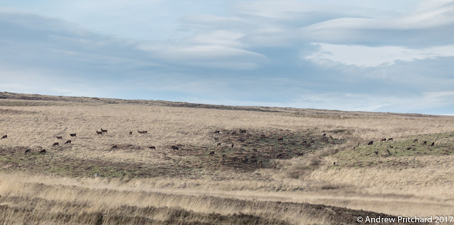 Deer on the hillside with lenticular clouds in the background.