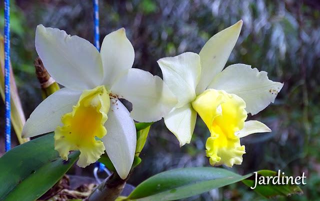 Catléia amarela perfumada  orquídea