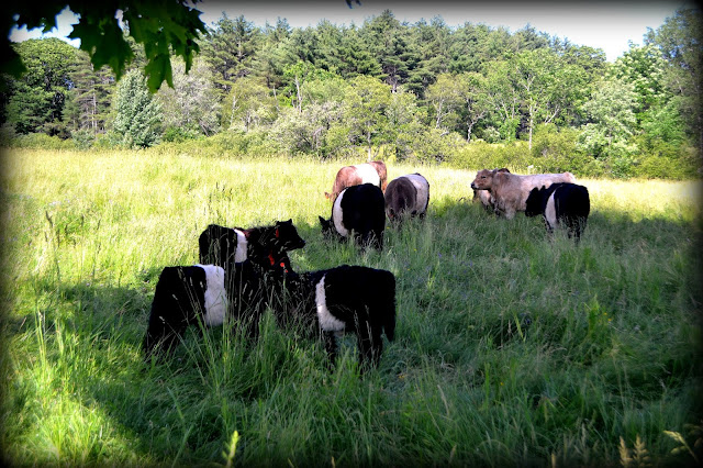 cows, Cow Herd, Shadows, Alton, New Hampshire