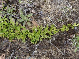 Lycopode en Éventail - Diphasiastrum digitatum - Lycopodium digitatum - Courants verts