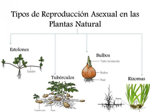 Reproduccion asexual de las plantas por estacas raiz