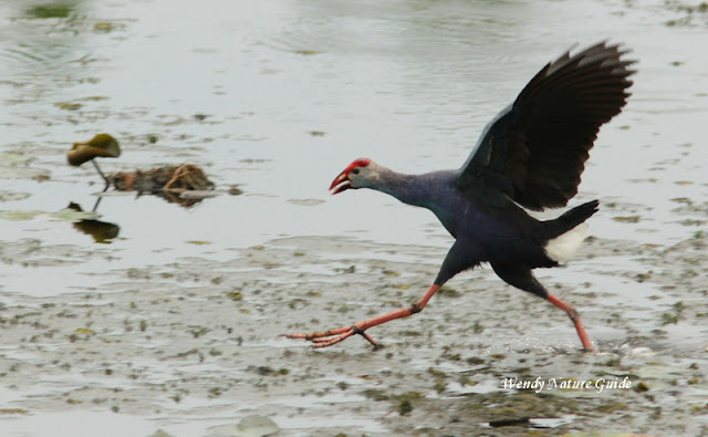 Birdwatching in Langkawi A Swamphen