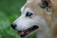 Vivre avec un chien aveugle ou sourd