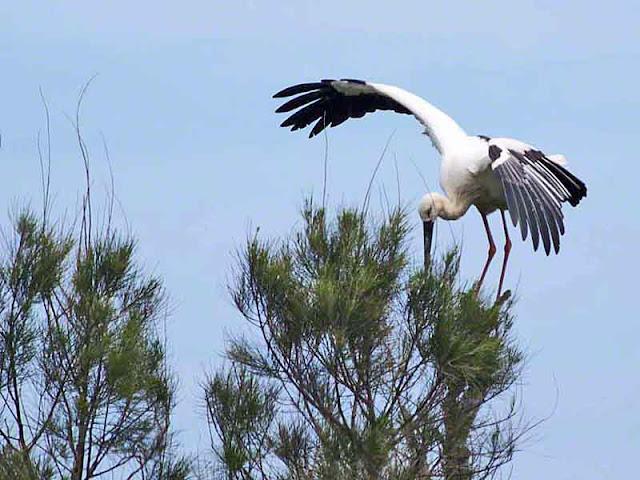bird, stork, Kourijima, Okinawa
