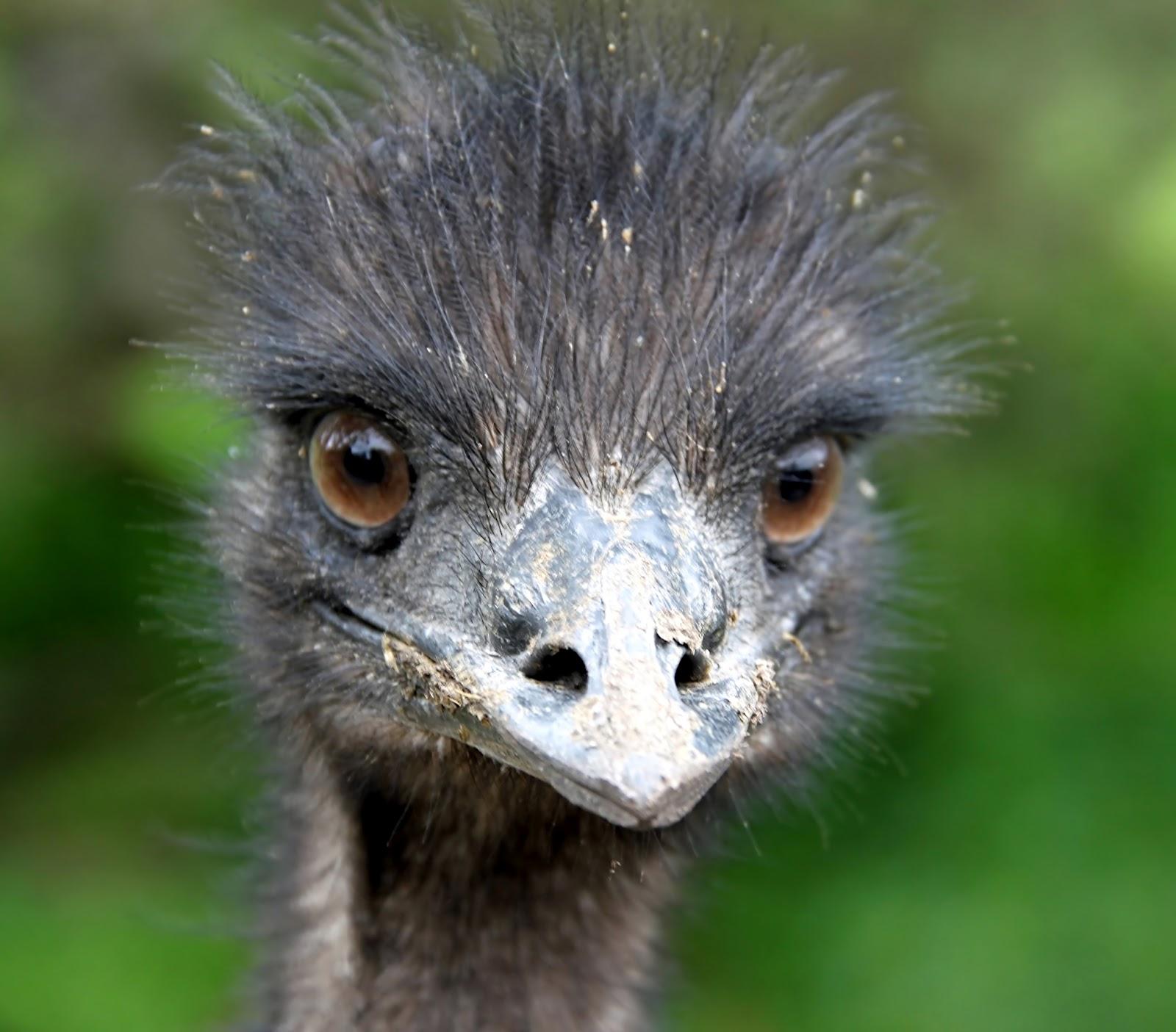 Zeer Grappige afbeeldingen: Afbeeldingen van dieren; close-up van emoe #TS22