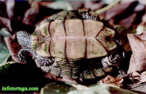 Plastrón de la falsa tortuga mapa