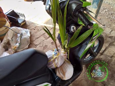 Mimi Nur Pagaden Barat, Subang Pembeli Bibit Kelapa Kopyor Genjah