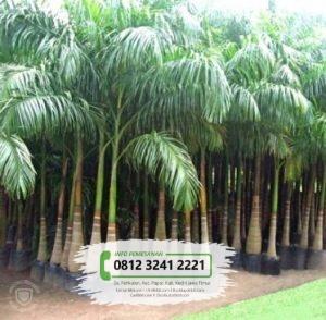Jual Bibit & Benih Biji Pohon Palem Ekor Tupai