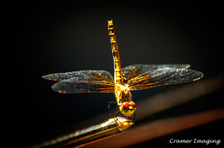 Cramer Imaging's professional quality nature insect photograph of a perched yellow dragonfly with black background in Pocatello, Bannock, Idaho