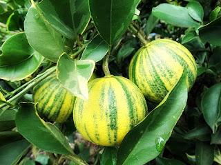 Laranja Verde e Amarela - Rossatto Garden Center