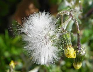 Planta espinosa de la cual los jilgueros extraen sus semillas